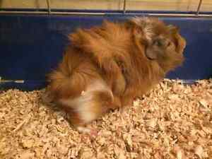 Rabbit and Guinea pig for sale
