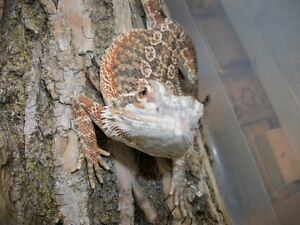 Adopt a bearded dragon - $20 fee. set up $60 Peterborough Peterborough Area image 2