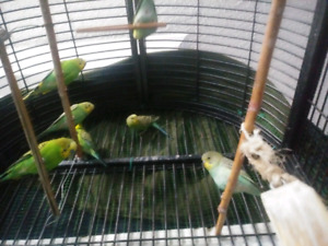 BUDGIES bird for sale