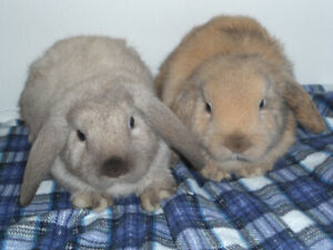 SMALL BREED BABY BUNNIES FOR SALE !! AND GUINEA PIGS !!!