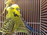ENGLISH BUDGIES