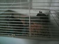 2 degus for sale very friendly