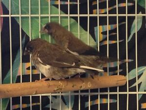 Beautiful baby Society Finches