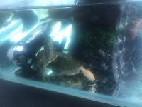 Baby turtles need forever home ( 1 inch) with food and accessor
