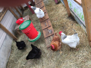 Laying Hens Chickens | Kijiji in Ontario  - Buy, Sell & Save