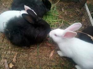 British Giant bunnies for sale Dover Huon Valley Preview