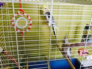 2 Cockatiels with UV Lamp, Cage and Toys