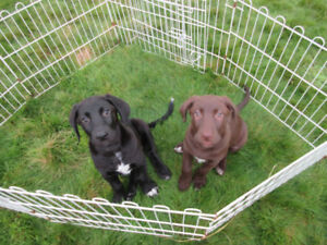 9 week old Labrador Catahoula X puppies are now available