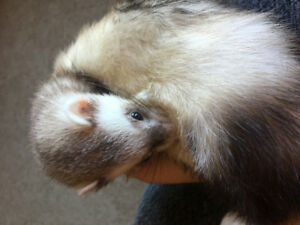 REDUCED 2 Female ferrets