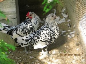 Silver Mini Chicken for sale COUPLE