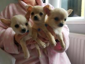 3 Boys Chihuahua puppies