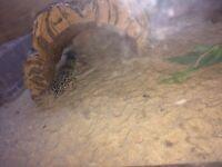 2 leopard geckos