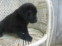 Labradoodles And Purebred Lab Puppies for Sale!