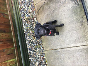 1 year lab dog for rehoming