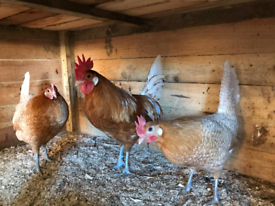Chickens for sale hens poultry birds pullets