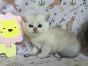 British Shorthair Silver Shaded and Golden Shaded Kittens