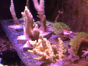 Coral frags for reef tank