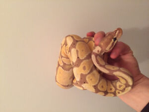 Trade or rehomeYoung Male banana ball python