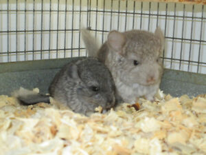 CHINCHILLAS AVAILABLE