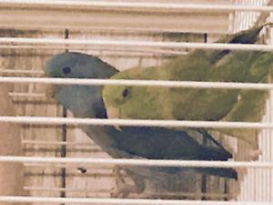 2 Parrotlets (6-8 months)