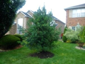 White Pine Trees 6-14 ft. tall.   $45 in the field or $110 dug