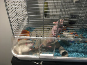 Two friendly rats with cage