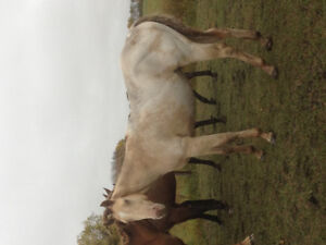 Yearling colt Rare champagne color