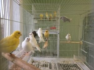 Breeding Canaries and Youngs