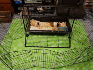 (2) 1 Year Old Male Guinea Pigs