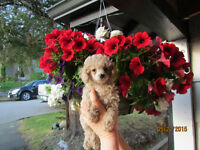 Beautiful med toy female Poodles