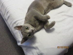 Russian Blue Registered Spayed Female