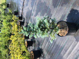Liquidation arbres et arbustes horticoles,plus de 10 000 pots!