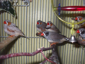 Zebra finches available at Rachelle's Happy Wings Aviary