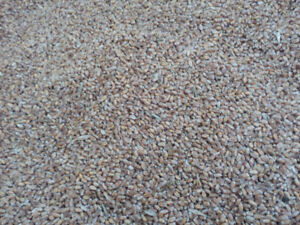 Red Fife Wheat for Sale