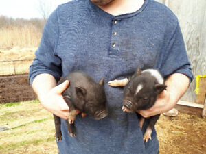 Mini Piglets For Sale