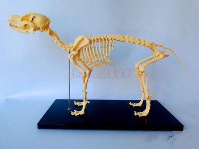 Veterinary Anatomy Dog Bone Skull Canine Skeleton Teaching Model With Display