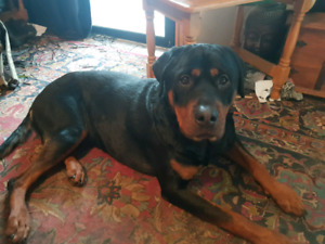 rottweiler in Victoria | Dogs & Puppies | Gumtree Australia