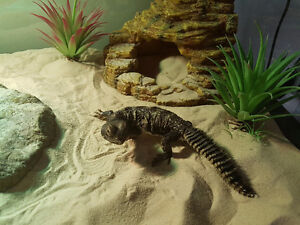 Banded uromastyx- everything included