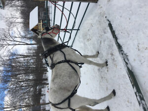 Broke to drive and ride standardbred mare