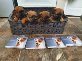 Border Terrier pups for sale