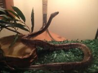 Ball Python with cage for sale