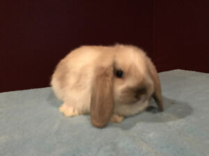 Beautiful PB baby Holland Lop bunnies! Assorted colours!