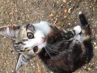 Tabby and tortoiseshell kitten and black cat