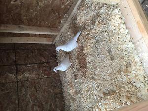 White racing homing pigeons.