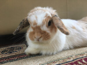 Beautiful Purebred Holland Lop W/ Cage & Accessories