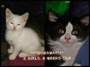 Giveaway Kittens Para Hills Salisbury Area Preview