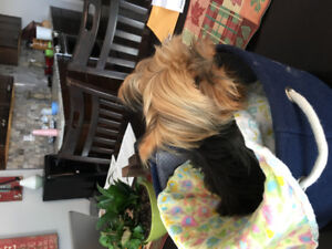 1 year old male tea cup yorkie