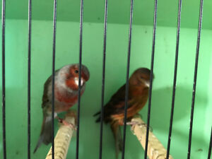 Red canaries for sale