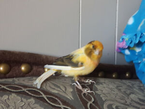Canaries, cage and accessories for sale