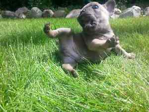 STUNNING French Bulldog Puppies CKC Registered